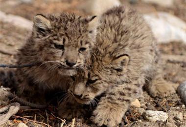 西藏现野生雪豹幼仔 野生动物保护有何规定(图)